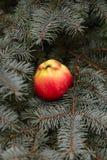 在一棵云杉的树的苹果计算机 免版税库存图片