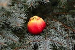 在一棵云杉的树的苹果计算机 库存图片