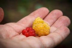 在一棵人的棕榈的莓 免版税库存照片