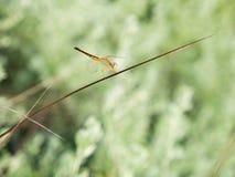 在一棵倾斜红色草栖息的蜻蜓 库存图片