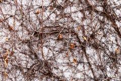在一棵凋枯的常春藤的特写镜头视图 库存照片