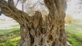 在一棵几百年的橄榄树的冠的特写镜头从上面播种了 影视素材