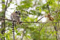 在一棵分支树的逗人喜爱的小狐猴在一个绿色密林 免版税库存照片