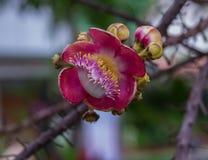 在一棵古炮炮弹树的最惊人的花在泰国 免版税图库摄影
