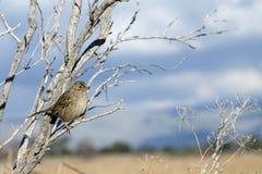 在一棵叶子光秃的树的金黄被加冠的麻雀与蓝天和克洛 免版税库存照片