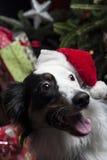 在一棵圣诞树前面的一位逗人喜爱的澳大利亚牧羊人与s 免版税库存照片