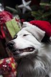 在一棵圣诞树前面的一位逗人喜爱的澳大利亚牧羊人与s 库存照片