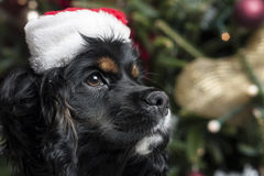 在一棵圣诞树前面的一只逗人喜爱的猎犬与圣诞老人 库存照片