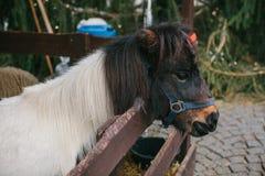 在一棵圣诞树旁边的一个哀伤的小马在背景中 库存图片