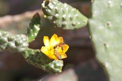 在一棵多汁植物的一朵黄色花的蜂 免版税库存图片