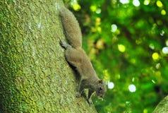 在一棵大树的一只小灰鼠 库存照片