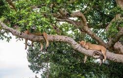 在一棵大树的两只雌狮谎言 特写镜头 乌干达 5 2009年非洲舞蹈东部maasai行军执行的坦桑尼亚村庄战士 免版税图库摄影