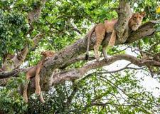 在一棵大树的两只雌狮谎言 特写镜头 乌干达 5 2009年非洲舞蹈东部maasai行军执行的坦桑尼亚村庄战士 免版税库存照片