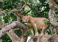 在一棵大树的雌狮 特写镜头 乌干达 5 2009年非洲舞蹈东部maasai行军执行的坦桑尼亚村庄战士 库存照片