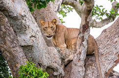 在一棵大树的雌狮 特写镜头 乌干达 5 2009年非洲舞蹈东部maasai行军执行的坦桑尼亚村庄战士 免版税库存照片