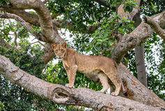 在一棵大树的雌狮 特写镜头 乌干达 5 2009年非洲舞蹈东部maasai行军执行的坦桑尼亚村庄战士 库存图片