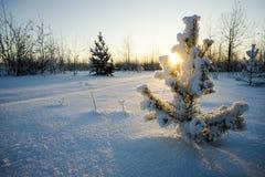 在一棵小杉木的分支的太阳 库存图片
