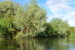 在一棵小河上升的银色杨柳的银行 免版税图库摄影