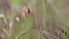 在一棵干燥凌风草属Briza最大值植物的Rhagonycha fulva共同的红色战士甲虫本质上 影视素材