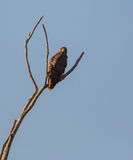 在一棵干燥树栖息的宽广飞过的鹰 库存照片