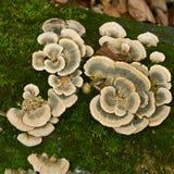 在一棵干燥树的异常的蘑菇 免版税库存照片