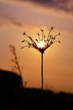 在一棵干燥植物的日落 免版税库存照片