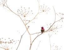 在一棵干燥植物的蜂鸟 免版税图库摄影