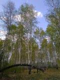 在一棵干燥残破的树的森林里增长的树 免版税库存照片