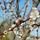 在一棵开花的树的蜂 免版税库存照片
