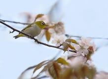 在一棵开花的樱桃的白眼睛鸟 免版税库存照片