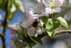 在一棵开花的苹果树的土蜂 免版税库存图片