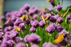 在一棵开花的葱的蝴蝶 免版税库存图片