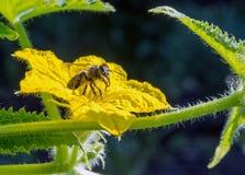 在一棵开花的黄瓜植物的一只蜂 库存图片