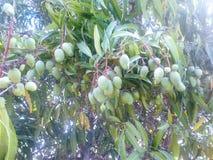 在一棵新鲜的树的绿色芒果在墨西哥可爱的糖果 库存图片