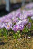 在一棵明亮的春天草的美丽的紫色番红花 库存图片
