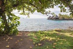 在一棵木槿树下在塔希提岛 免版税图库摄影