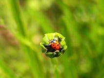 在一棵未打开的花蕾的瓢虫 免版税库存照片