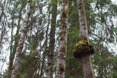 在一棵杉木的树肿瘤与绿色青苔 免版税库存图片