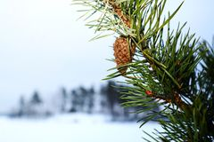 在一棵杉木的锥体在冬天 免版税图库摄影