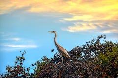 在一棵杉树的伟大蓝色的苍鹭的巢在日落 免版税库存照片