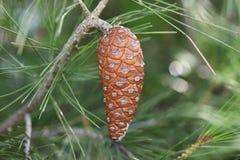 在一棵杉树的布朗锥体在海 库存照片