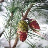 在一棵杉树的锥体与雪和冰 图库摄影