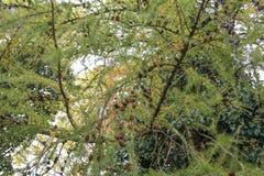 在一棵杉树的Pinecone在秋天期间 免版税库存图片