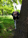 在一棵树后的一头母牛在草甸 免版税库存图片