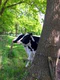 在一棵树后的两头母牛在草甸 免版税库存照片