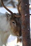 在一棵树后的公驯鹿在北极 库存照片