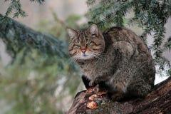 在一棵树的一个野生猫男性立场在Maramures山森林里。 免版税库存照片
