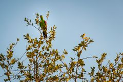 在一棵树的一只国王鹦鹉在澳大利亚 库存图片