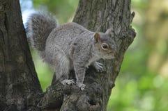 在一棵树的一只灰色灰鼠在森林地 免版税库存照片