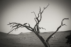 在一棵树的一只鸟在纳米比亚沙漠 免版税库存照片